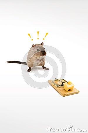 brilliant rat