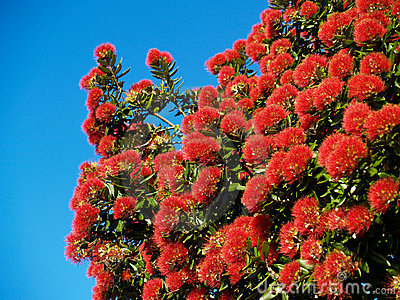 Brilliant red flowering pohutukawa.