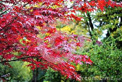 Brilliant red tree of autumn