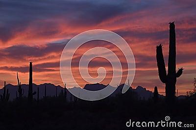 Brilliant Sunset and Saguaro Cactus