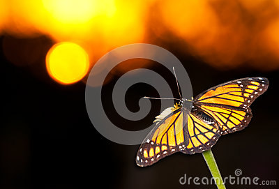 Brilliant Viceroy butterfly resting on a flower