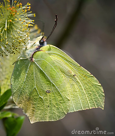 Free Brimstone Butterfly Stock Images - 16275064