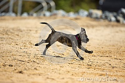 Brindle boxer lab mix dog runs into the water