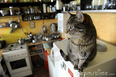The brindle cat in the kitchen