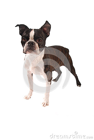 Brindle and White Boston Terrier Stading