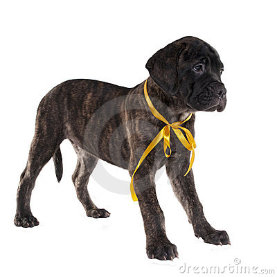 Brindled bullmastiff puppy standing