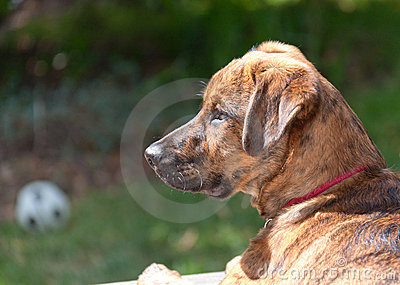 Brindled Plott hound puppy Stock Photo