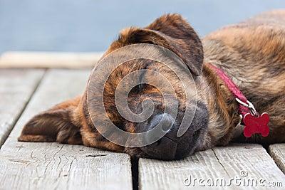 Brindled Plott hound puppy Stock Photo
