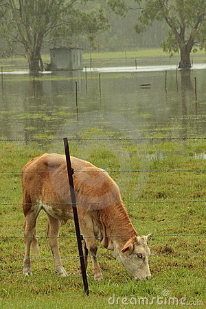 Brisbane flooding again, cattle on remaining high