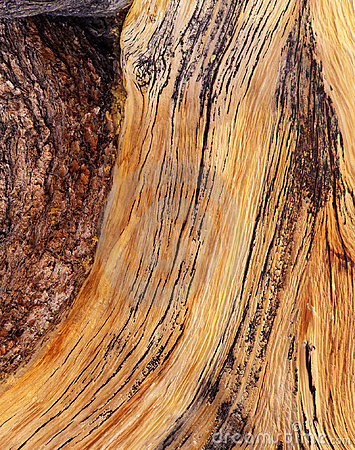 Bristle Cone Pine Tree Bark
