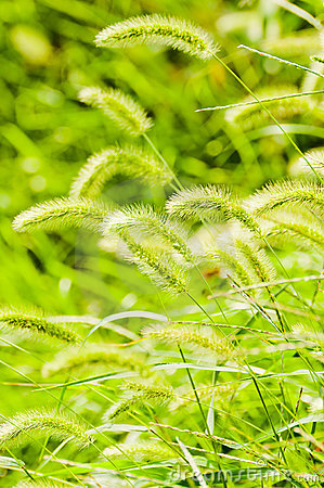 Free Bristle Grass Stock Photography - 21126432