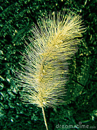 Free Bristle Grass Or Foxtail Stock Photography - 13209922