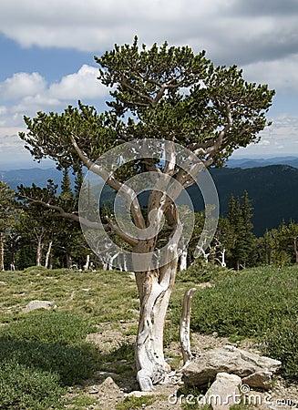 Free Bristlecone Pine Royalty Free Stock Photo - 20730075