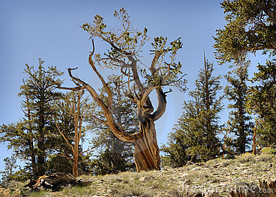 Bristlecone Pine in Forest, California