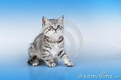 Britain s little kitten