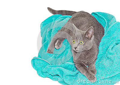 Britannic cat on a towel