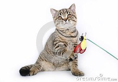 Britisches Kätzchen mit einem roten Spielzeug
