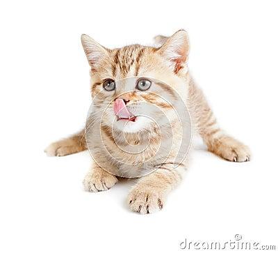 British baby cat lying and licking nose