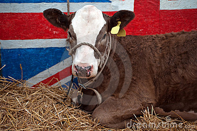 British Beef Cattle