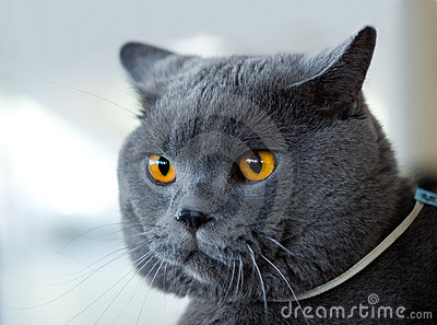 British blue cat at cat s show
