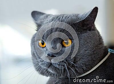 British blue cat at cat s show