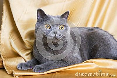 British cat-03