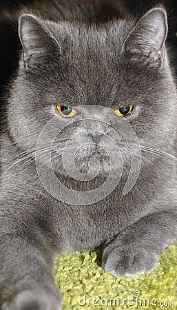British cat.