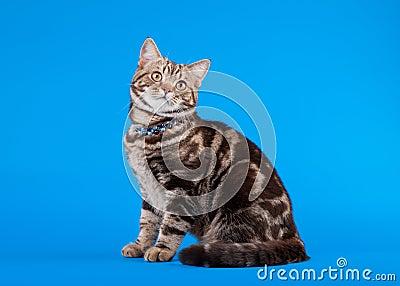 British cat chocolate marble