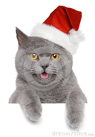 British cat in Christmas red hat