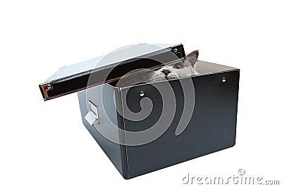 British cat hiding in black box isolated