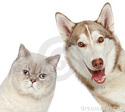 British cat and Husky dog. Close-up portrait.