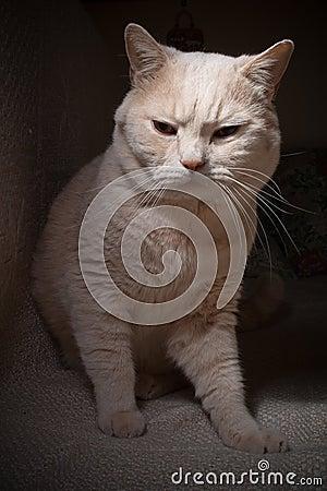 British cat II