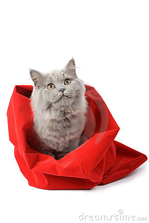 Free British Cat In Red Sack Isolated Royalty Free Stock Photos - 6750638