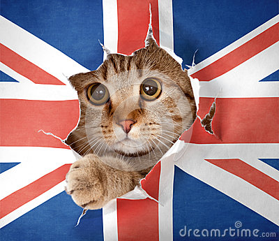 British cat looking through hole in paper flag