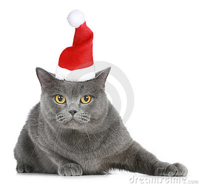 British cat in red christmas cap