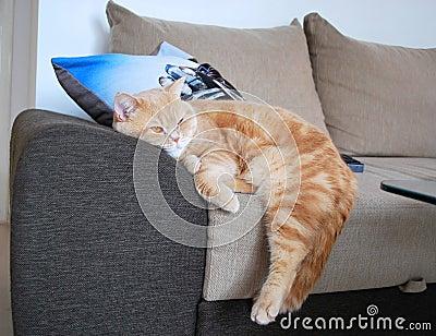 British cat sleeping at home