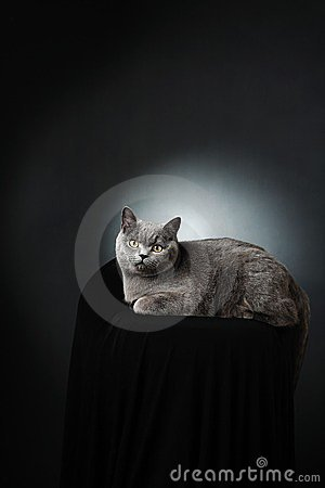 British cat studio portrait
