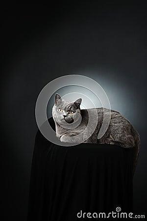 British cat studio portrait
