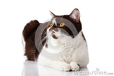 british cat on white