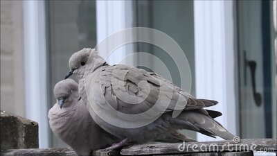 British collared pair doves pigeons pigeon birds animals animal feathers perched perching babies nest fence garden gardens pest stock footage