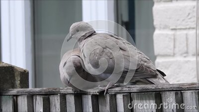 British collared pair doves pigeons pigeon birds animals animal feathers perched perching babies nest fence garden gardens pest stock video