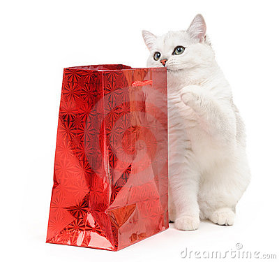 British funny cat with a gift
