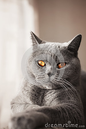 British gray cat lying in the window