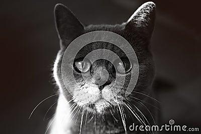 British Grey Cat