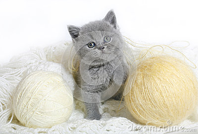 British kitten with balls of wool.