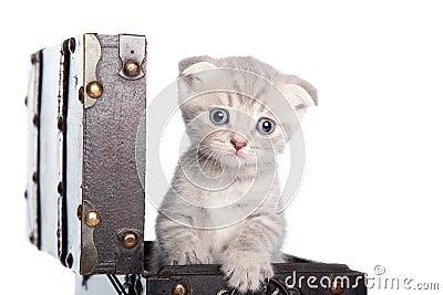 British kitten in a chest