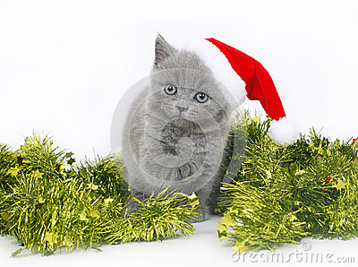 British kitten with Christmas tinsel.
