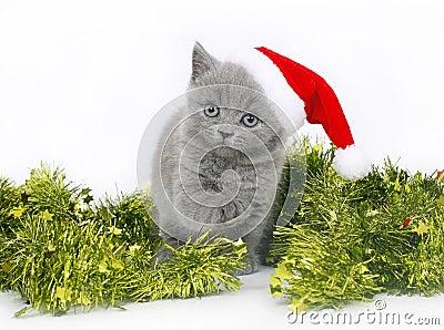 British kitten with Christmas tinsel.