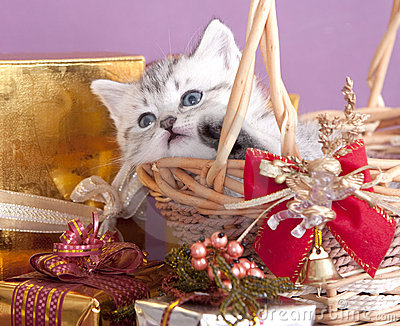 British kitten and gifts