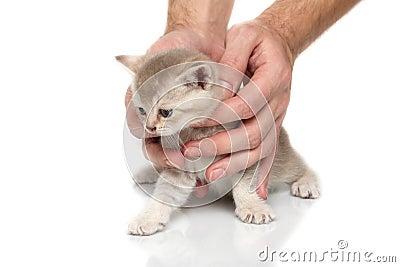 British kitten in hands